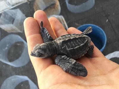 voluntariado en guatemala ayudando tortugas