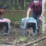 voluntariado en guatemala liberando jaguares