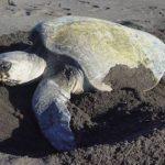 voluntariado en guatemala tortugas